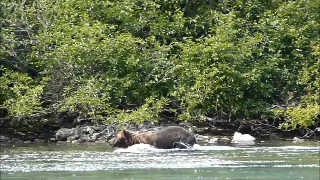 File brown bear fishing for salmon crescent lake for Crescent lake fishing
