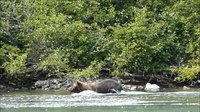 Файл:Brown bear fishing for salmon -- Crescent Lake, Alaska - August 2015.webm