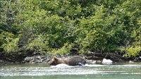 File:Brown bear fishing for salmon -- Crescent Lake, Alaska - August 2015.webm