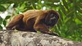 Brown howler Monkey 8.jpg
