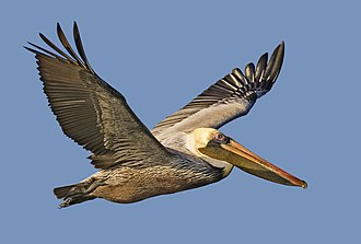 Aransas Bay - Brown pelican flying over Fulton harbor