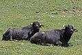 Bubalus bubalis - Water buffalo 09.jpg