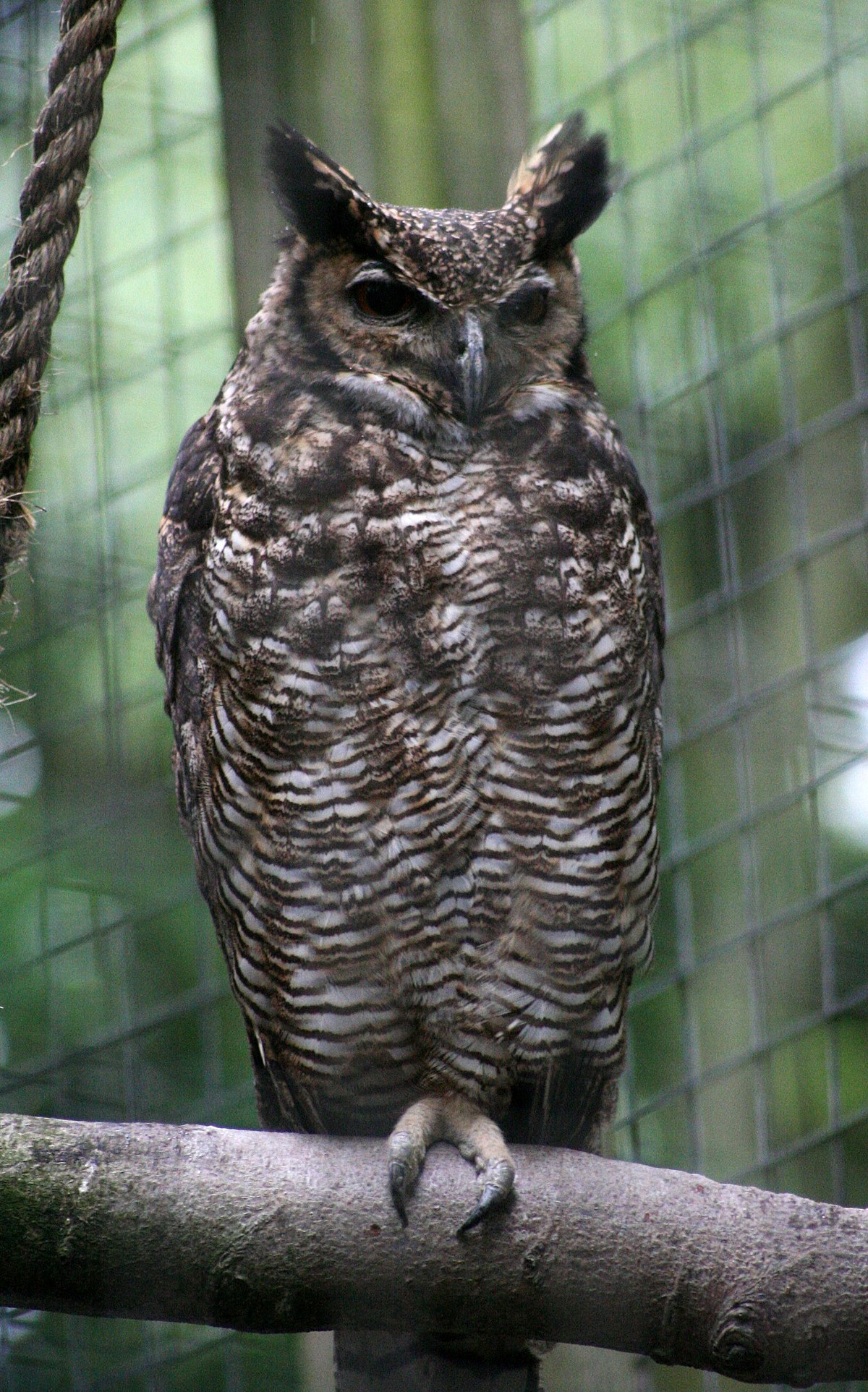 South American Great Horned Owl Wikipedia
