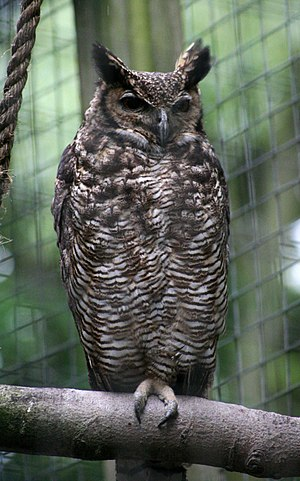 South American great horned owl - Image: Bubo virginianus nacurutu Otter, Owl, and Wildlife Park