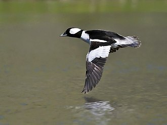 Bufflehead - Male flying in California