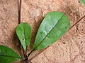 Buchenavia tetraphylla - Flickr - Tarciso Leão (2).jpg