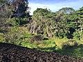 Bukit Tengkorak cogongrass field 07.jpg