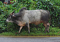 Bull found near Shri Mangueshi temple Goa 1.JPG