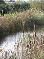 Bullrushes and stream at Old Moor - geograph.org.uk - 717874.jpg