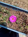 Bunga portulaca.jpg