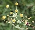 Bupleurum nipponicum (flower).jpg