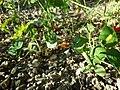 Bupleurum rotundifolium sl107.jpg