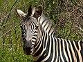 Burchell's Zebra (Equus quagga burchellii) (6885733032).jpg