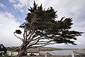 Burgh Island prevailing wind-4614887736.jpg