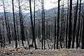Burned Trees off Hwy 152 near Emory Pass (9040619385).jpg