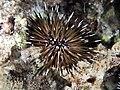 Burrowing urchin (Echinometra mathaei) (26242721069).jpg