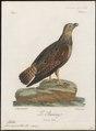 Buteo nigricollis - 1796-1808 - Print - Iconographia Zoologica - Special Collections University of Amsterdam - UBA01 IZ18200067.tif