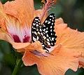Butterfly 14 (4867249222).jpg