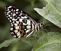 Butterfly 21 (4867284216).jpg