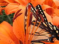 Butterfly On A Tiger Lily (174078530).jpg