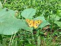 Butterfly of Bangladesh 10.jpg