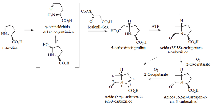 CARBAPENAM BIOSYNTHESIS.png