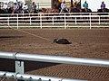 CFD Tie-down roping Cowboy No. 304 -2.jpg