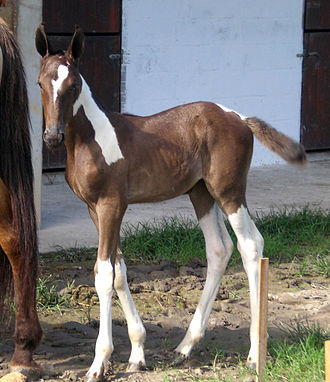 Campolina - A pampa (pinto-patterned) filly.