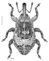 COLE Curculionidae Clypeolus cineraceus.png