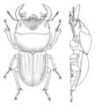 COLE Lucanidae Geodorcus helmsi m.png