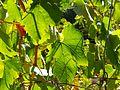 CSIRO ScienceImage 11513 Grapevine.jpg