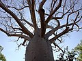 CSIRO ScienceImage 1410 Boab tree Adansonia gregorii in Gregory national park NT.jpg