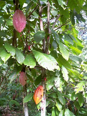 Agriculture in Mesoamerica - Cacao