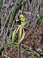 Caladenia toxochila.jpg