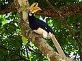 Calao (Hornbill), Pulau Pangkor.jpg