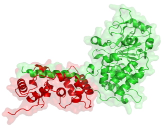 Phosphatase - Calcineurin (PP2B) is a protein phosphatase enzyme involved in immune system function.