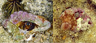 Symbiosis - Hermit crab, Calcinus laevimanus, with sea anemone.