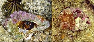 Symbiosis - Hermit crab, Calcinus laevimanus, with sea anemone.