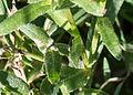 Calendula stellata-5.jpg
