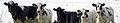 Calfs d1 2 cropped.jpg