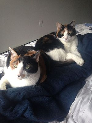 Calico cat - Two calico cats from the same litter with different markings.