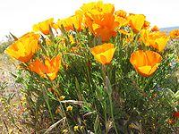 California Poppies3