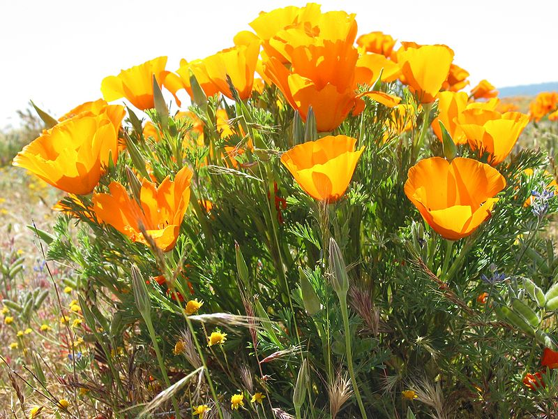 Fil:California Poppies3.jpg