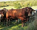 Calm Bull (Red Poll ) (46260562731).jpg
