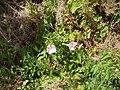 Calystegia sepium roseata R.Br. (AM AK304529-2).jpg