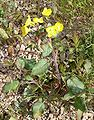 Camissonia brevipes form 1.jpg