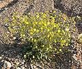 Camissonia multijuga 1.jpg