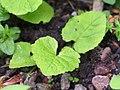 Campanula latifolia subsp. latifolia Dzwonek szerokolistny 2019-05-03 02.jpg