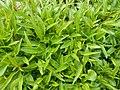 Campanula rotundifolia 2017-04-20 8424.jpg