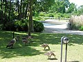 Canada Geese with goslings in the Park at the National Archives, Kew - geograph.org.uk - 1335007.jpg